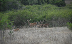 Rusa stags in one of our hunts - Photo New Caledonia Fishing Safaris (September 2010 )