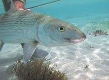 Pêche en Nouvelle-Calédonie, le paradis des bonefish records (Albula Glossondata)