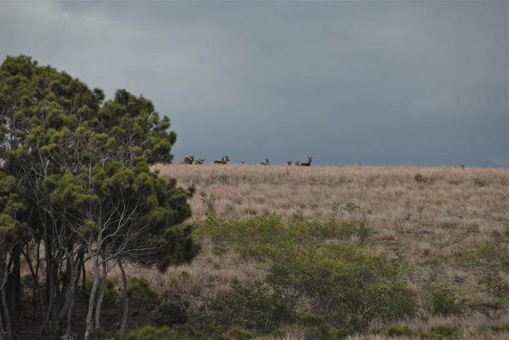 Chasse au trophée cerf rusa (Javan) en Nouvelle-Calédonie